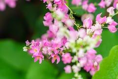 Μέλισσα στα πέταλα του λουλουδιού leptopus Antigonon Στοκ φωτογραφία με δικαίωμα ελεύθερης χρήσης
