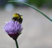 Μέλισσα στα φρέσκα κρεμμύδια Στοκ Φωτογραφία