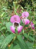 Μέλισσα στα impatiens Glandulifera Στοκ φωτογραφία με δικαίωμα ελεύθερης χρήσης