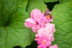 Μέλισσα στα pollens του λουλουδιού leptopus Antigonon Στοκ φωτογραφίες με δικαίωμα ελεύθερης χρήσης