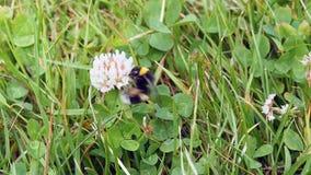 Μέλισσα στην εργασία για το λουλούδι απόθεμα βίντεο