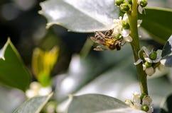 Μέλισσα στην εργασία Στοκ Εικόνα