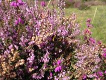 Μέλισσα στην ερείκη Στοκ Εικόνα