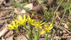 Μέλισσα στην ημέρα λουλουδιών την άνοιξη απόθεμα βίντεο