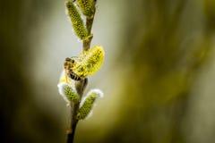 Μέλισσα στην ιτιά αιγών στοκ εικόνες με δικαίωμα ελεύθερης χρήσης