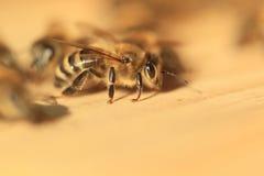 Μέλισσα στην κυψέλη Στοκ Φωτογραφίες
