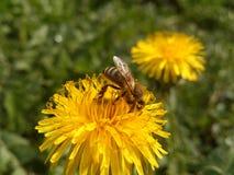 Μέλισσα στην πικραλίδα Στοκ εικόνα με δικαίωμα ελεύθερης χρήσης
