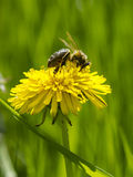 Μέλισσα στην πικραλίδα Στοκ Φωτογραφίες