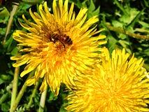 Μέλισσα στην πικραλίδα Στοκ φωτογραφίες με δικαίωμα ελεύθερης χρήσης