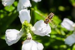 Μέλισσα στην πτήση Στοκ φωτογραφία με δικαίωμα ελεύθερης χρήσης