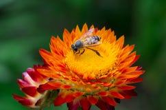 Μέλισσα στη μαργαρίτα Στοκ φωτογραφίες με δικαίωμα ελεύθερης χρήσης