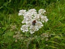 Μέλισσα στη συστάδα λουλουδιών Στοκ Φωτογραφίες