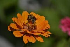 Μέλισσα στη Zinnia Στοκ Εικόνα