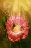 Μέλισσα στις ακτίνες παπαρουνών του ήλιου Στοκ Εικόνες