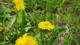 Μέλισσα στις πικραλίδες στο πράσινο λιβάδι φιλμ μικρού μήκους