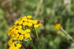 Μέλισσα στις tansy εγκαταστάσεις Στοκ Εικόνα