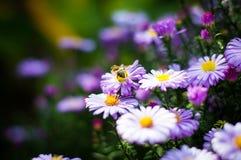 Μέλισσα στον αστέρα Στοκ Φωτογραφίες