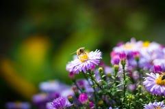 Μέλισσα στον αστέρα Στοκ φωτογραφίες με δικαίωμα ελεύθερης χρήσης