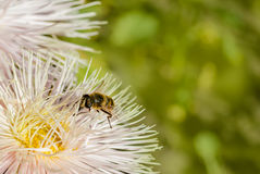 Μέλισσα στον αστέρα Στοκ φωτογραφία με δικαίωμα ελεύθερης χρήσης