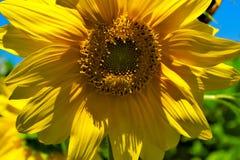 Μέλισσα στον ηλίανθο Στοκ Εικόνες