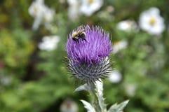 Μέλισσα στον κάρδο Στοκ εικόνες με δικαίωμα ελεύθερης χρήσης