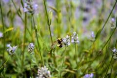 Μέλισσα στον κήπο στο μικρό χωριό Pott Shrigley, Τσέσαϊρ, Αγγλία Στοκ Φωτογραφία