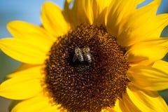 Μέλισσα στον κίτρινο ηλίανθο, sumertime Στοκ φωτογραφίες με δικαίωμα ελεύθερης χρήσης