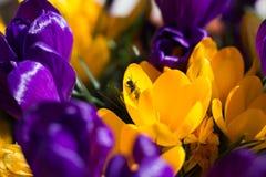 Μέλισσα στον κρόκο Στοκ εικόνα με δικαίωμα ελεύθερης χρήσης