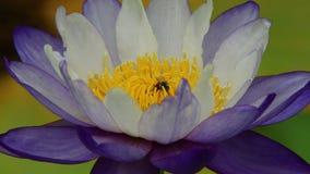 Μέλισσα στον πορφυρό κρίνο νερού απόθεμα βίντεο