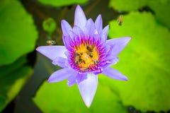 Μέλισσα στον πορφυρό λωτό Στοκ Φωτογραφίες