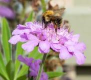 Μέλισσα στο άγριο λουλούδι 3 Στοκ Εικόνα