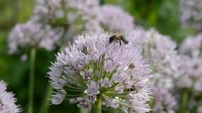 Μέλισσα στο άνθος σκόρδου φιλμ μικρού μήκους