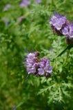 Μέλισσα στο άνθος Στοκ φωτογραφίες με δικαίωμα ελεύθερης χρήσης