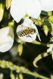 Μέλισσα στο άσπρο λουλούδι Στοκ Φωτογραφίες