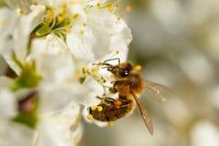 Μέλισσα στο άσπρο λουλούδι Στοκ Εικόνες