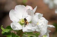 Μέλισσα στο άσπρο λουλούδι Apple Στοκ Εικόνες