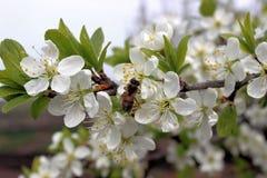 Μέλισσα στο ανθίζοντας δαμάσκηνο Στοκ Εικόνα