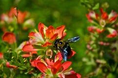 Μέλισσα στο ινδικό πινέλο στοκ φωτογραφίες