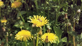 Μέλισσα στο κίτρινο λουλούδι στο άγριο περιβάλλον φιλμ μικρού μήκους