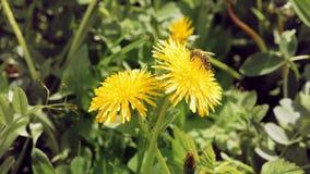Μέλισσα στο κίτρινο λουλούδι στο άγριο περιβάλλον απόθεμα βίντεο