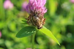 Μέλισσα στο κόκκινο τριφύλλι Στοκ εικόνες με δικαίωμα ελεύθερης χρήσης