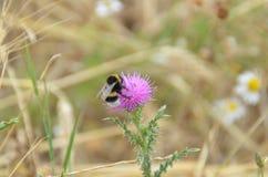 Μέλισσα στο λουλούδι κάρδων Στοκ εικόνες με δικαίωμα ελεύθερης χρήσης