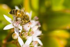 Μέλισσα στο λουλούδι στην ηλιόλουστη ημέρα Στοκ Εικόνες
