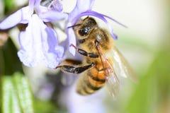 Μέλισσα στο λουλούδι της Rosemary Στοκ Φωτογραφία