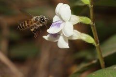 Μέλισσα στο λουλούδι Στοκ εικόνες με δικαίωμα ελεύθερης χρήσης