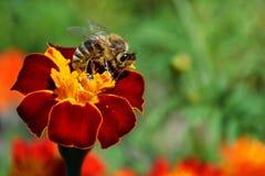 Μέλισσα στο λουλούδι Στοκ φωτογραφία με δικαίωμα ελεύθερης χρήσης
