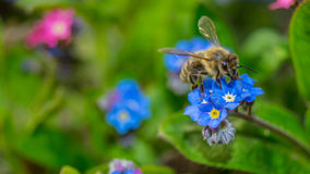 Μέλισσα στο λουλούδι στοκ εικόνα με δικαίωμα ελεύθερης χρήσης
