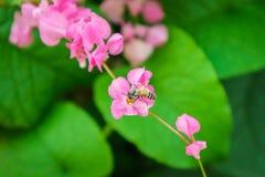 Μέλισσα στο λουλούδι leptopus Antigonon Στοκ εικόνα με δικαίωμα ελεύθερης χρήσης
