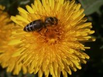 Μέλισσα στο λουλούδι Taraxacum Στοκ Εικόνες