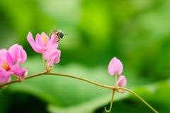 Μέλισσα στο πέταλο του λουλουδιού leptopus Antigonon Στοκ Φωτογραφίες